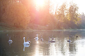 Animal wildlife in Belarus. White swans in the pond