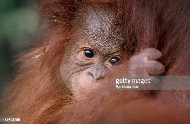 Animals Apes Orangutan Pongo pygmaeus Close view of baby Orangutan clutching its mother