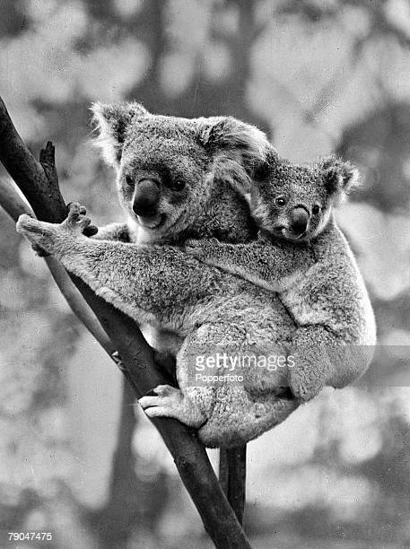 circa 1950's Mother Koala bear with baby clinging to her back Koala bears are marsupials found only in Eastern Australia and feed on eucalyptus shoots