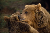 Animals Bear Captive Two Brown bears head and shoulders view nuzzling each other