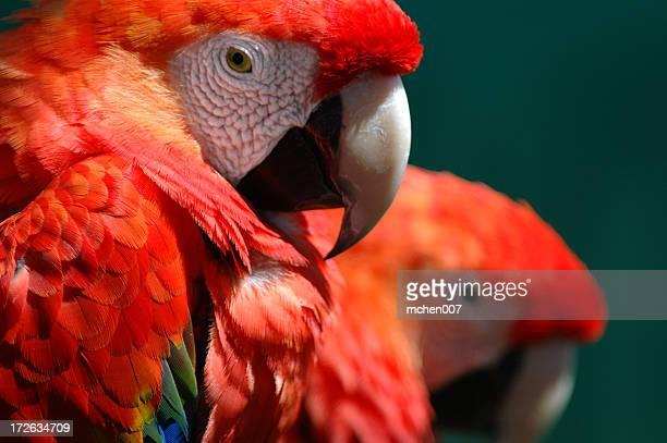 Animals : Birds Macaw Couple