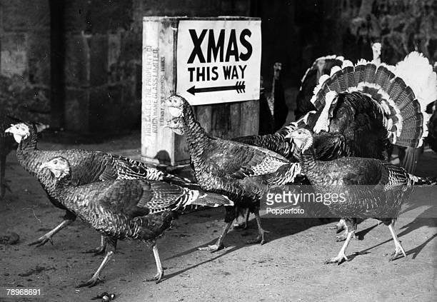 Animals Birds/Poultry Food Turkeys pic November 1952 Turkeys pass a 'Xmas this way' sign in this humorous picture seemingly unconcerned about their...