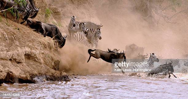 Animals crossing of Mara River