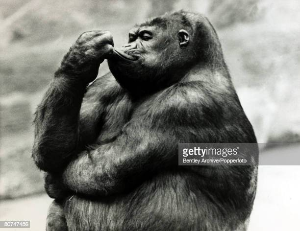 1969 'Noelle' a pregnant mountain gorilla pictured at Chester Zoo seemingly deep in thought