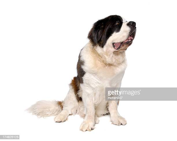 Animals : Isolated Dog St. Bernard