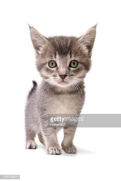 Animals : Isolated Kitten