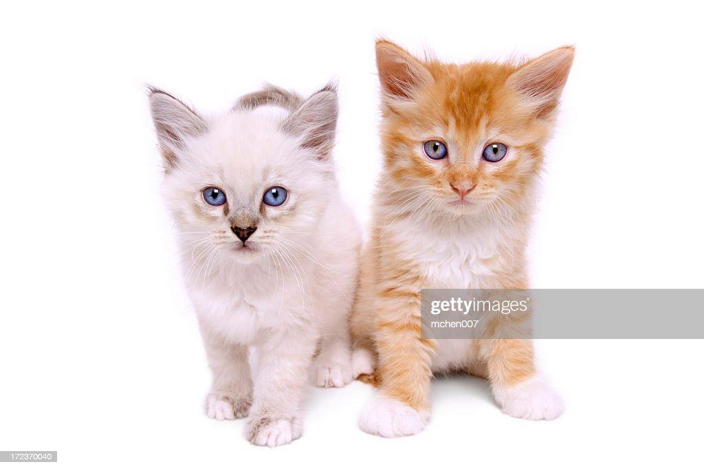 Animals : Isolated Kittens : Stock Photo