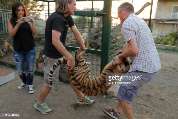 CORRECTION Animals Lebanon executive director Jason Mier and a volunteer carry one of three Siberian tigers to be resettled in France at a centre of...
