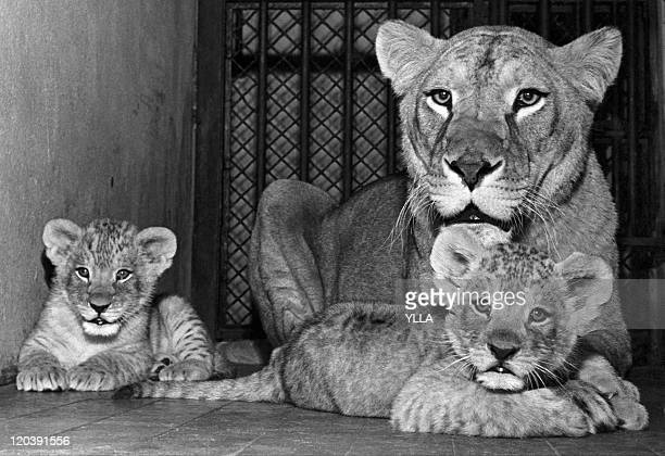 Animals Lioness and lion cubs