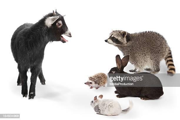 Animali ascolto di capra su sfondo bianco