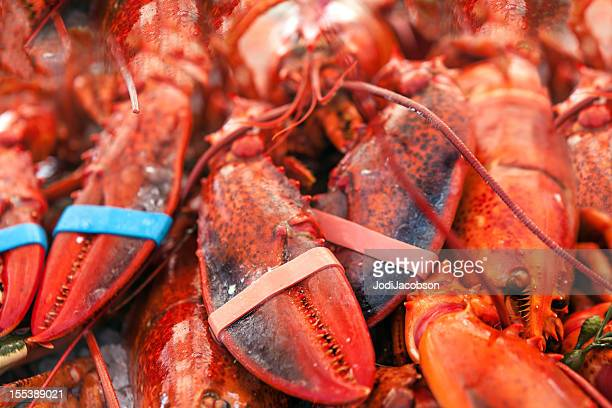 Animals: Maine Lobsters