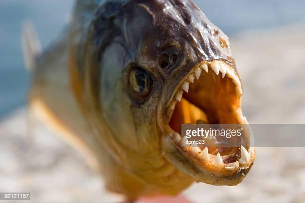 Tiere-piranha