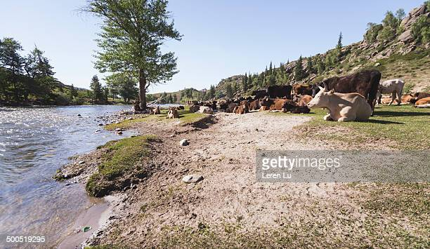 Animals resting by river during moving