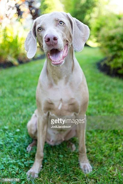 Animals:Dogs, Weimeramer