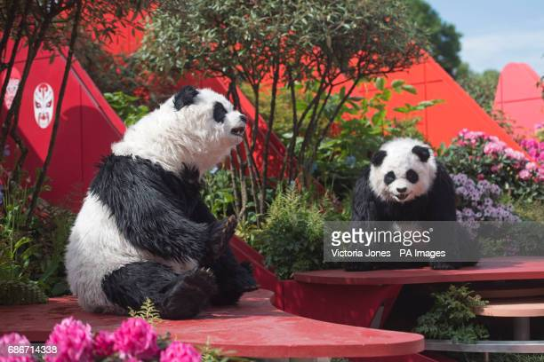 Animatronic giant pandas in the Silk Road Garden during the press preview of the RHS Chelsea Flower Show at the Royal Hospital Chelsea London