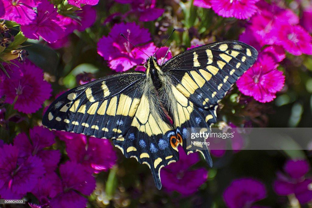 Papilio zelicaon Borboleta Rabo de andorinha de erva-doce : Foto de stock