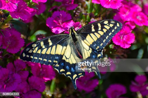 anise swallowtail butterfly  Papilio zelicaon : Stock Photo