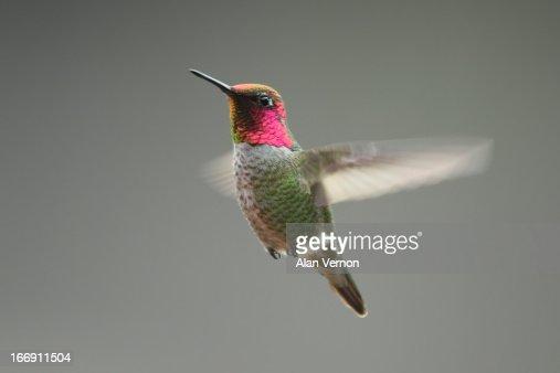 Anna's hummingbird (Calypte anna) in flight
