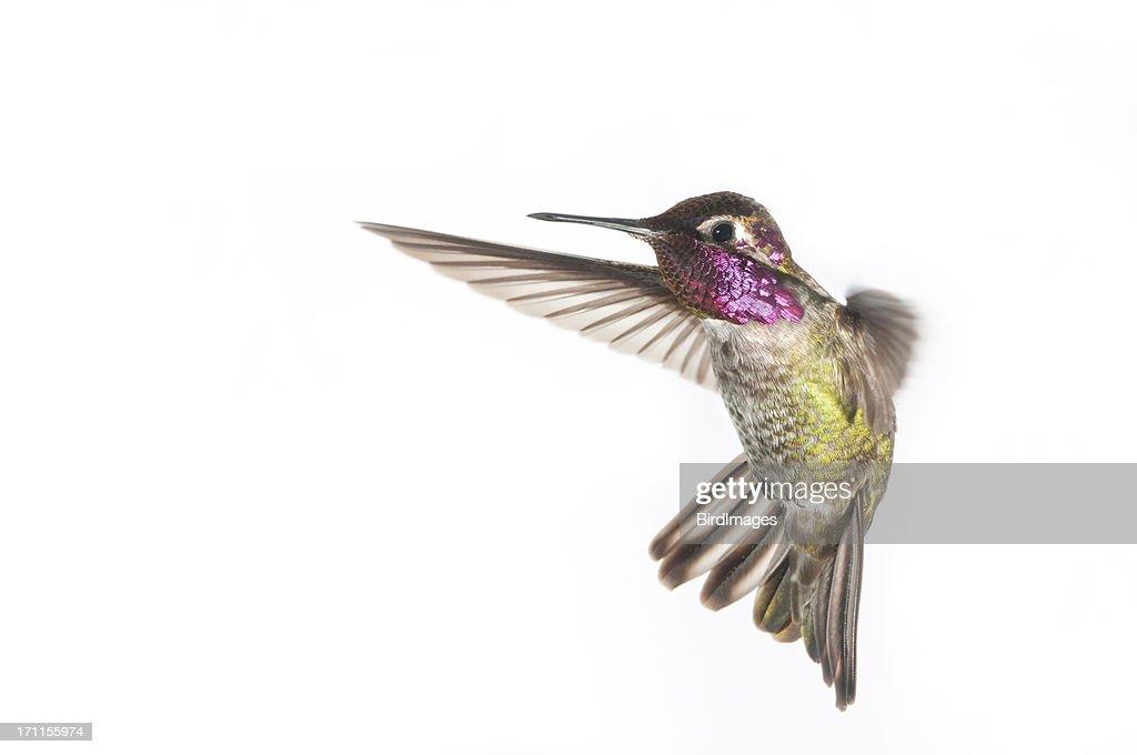 Annas Hummingbird - Male. white Background