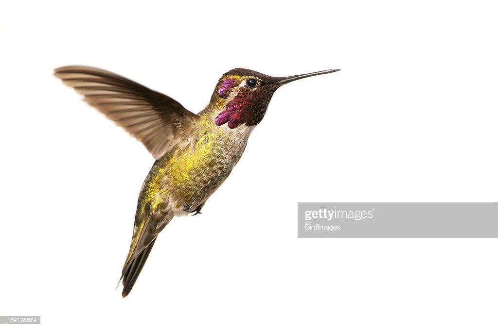 Anna's Hummingbird Male - White Background XL