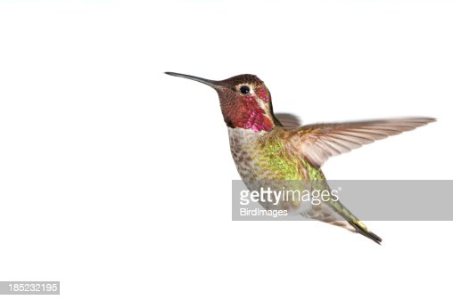 'Annas Hummingbird - Male, White Background XL'