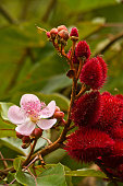 Annato, lipstick tree in the amazon rainforest, Yasuni National Park, Orellana, Ecuador
