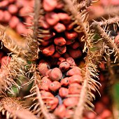 fruits of the annatto