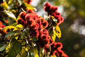 Annatto tree in the forest, Thailand