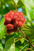 'seed pods growing on an annatto tree, bixa orellana'