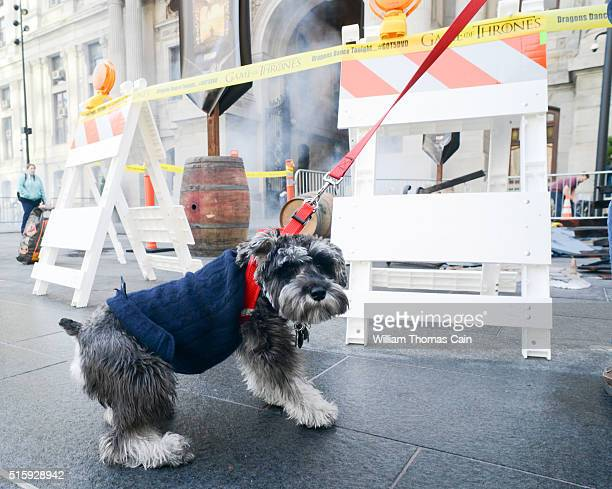Annie a miniature schnauzer looks around during the Game of Thrones The Complete Fifth Season DVD/BluRay Celebration March 16 2016 at Dilworth Plaza...