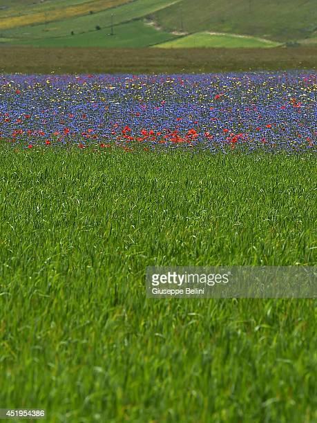 Annual Blossoming in Castelluccio on July 7 2014 in Castellucio di Norcia near Perugia Italy