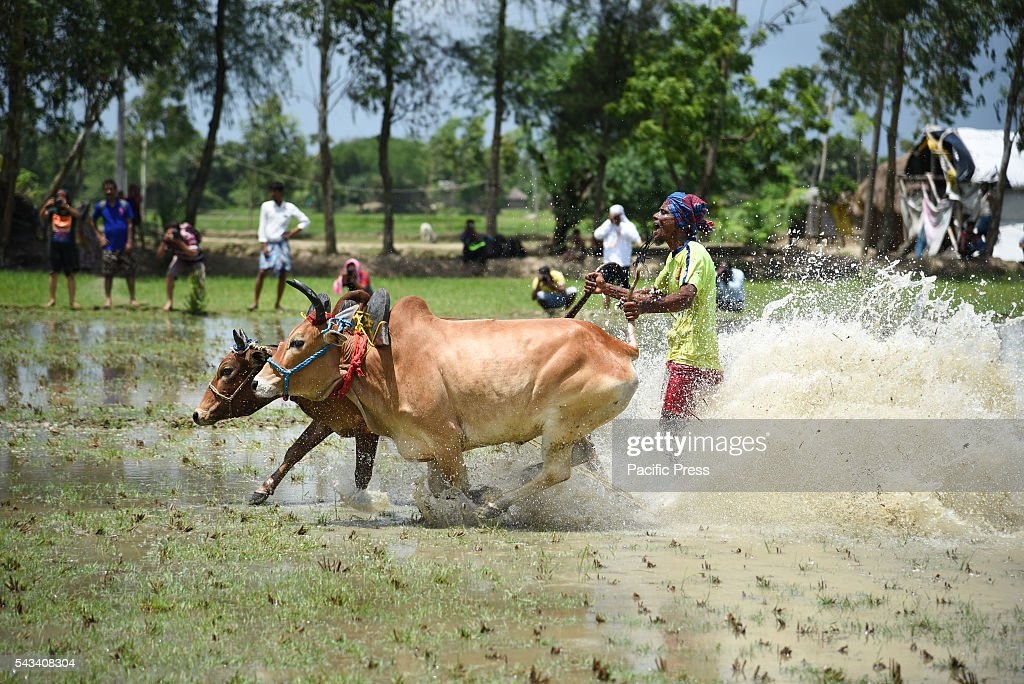 Annual cattle race (Moichhara) takes place during the beginning of monsoon at Herovanga village near Canning, in district of South 24 Parganas, West Bengal.