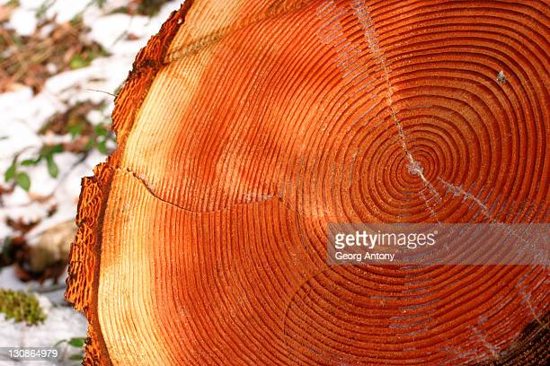 annual rings of a white fir tree