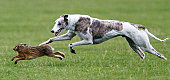 Annual Waterloo Cup Hare Coursing Event