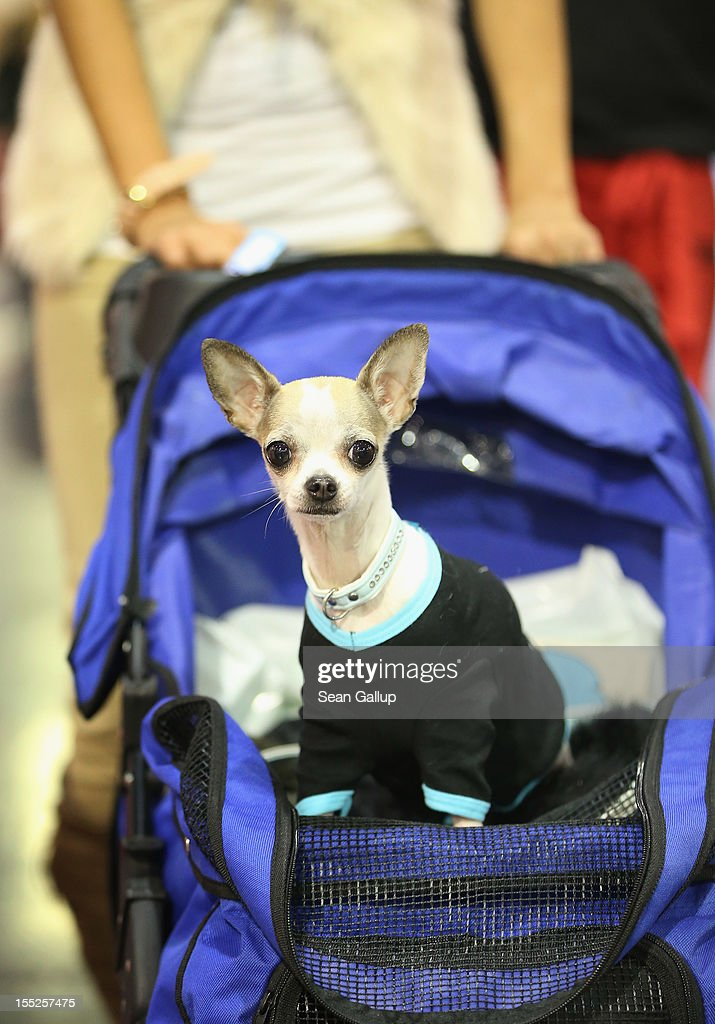 Anny, a kind of dog called a teacup chihuahua, rides in a baby pram pushed by her owner at the pet trade fair (Heimtiermesse) at Velodrom on November 2, 2012 in Berlin, Germany. Exhibitors are showing the latest trends in collars, snacks and other accessories for cats, dogs and other household pets.