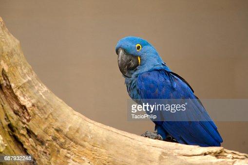 Anodorhynchus leari - Lears macaw : Stock Photo