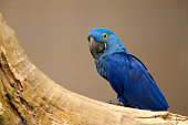 Anodorhynchus leari - Lears macaw