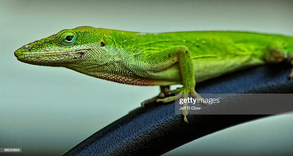 Anole Beauty and Detail