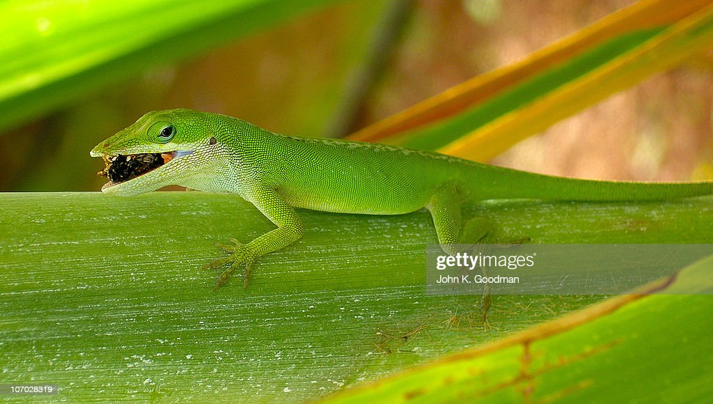 Anole Lizard Eating Insect