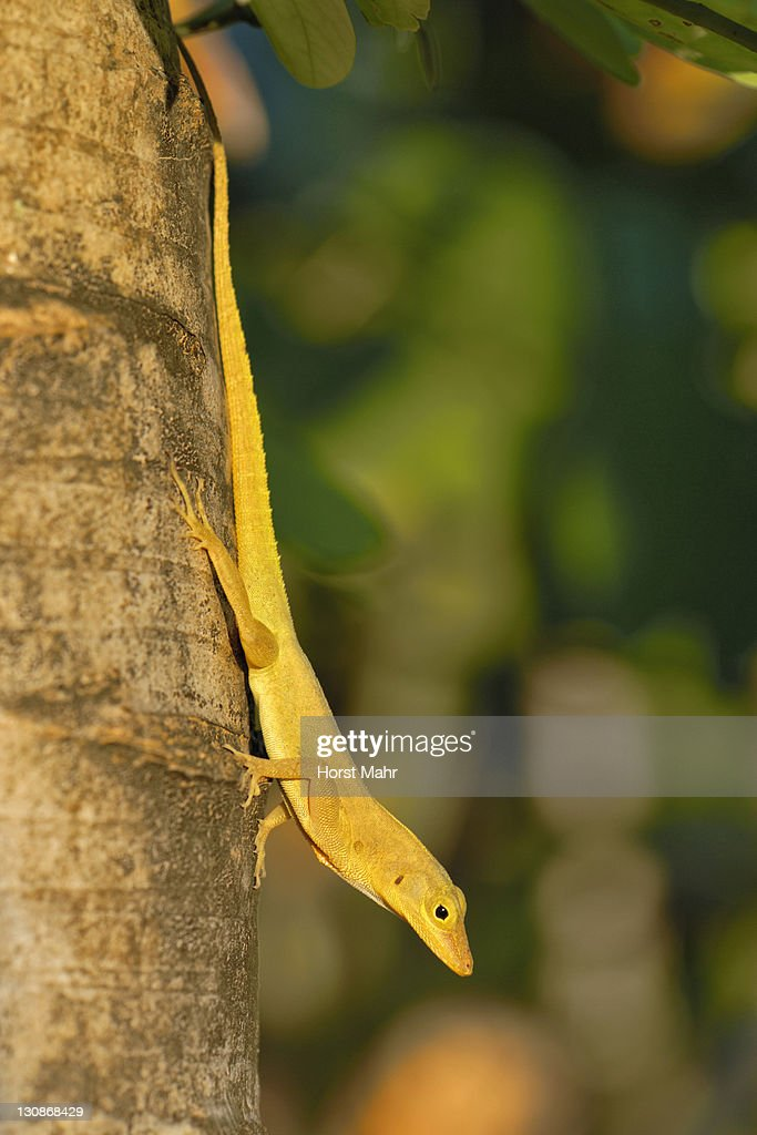Anolis (Anolis sp.), lizard, climbing down the trunk of a palm tree, St. Croix island, U.S. Virgin Islands, United States