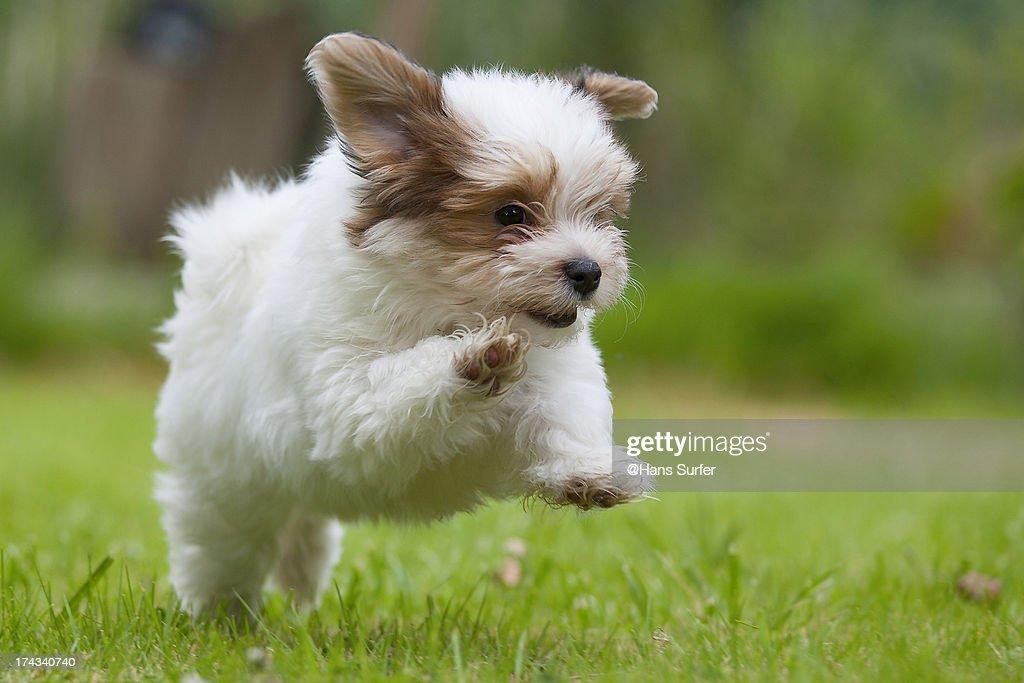 Another Happy  8.5 weeks Havanese puppy!