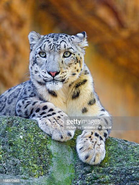 Another posing snow leopard
