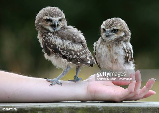 Ant and Dec the Burrowing Owls two of the newest members of the Bird of Prey Shows at Blair Drummond Safari Park