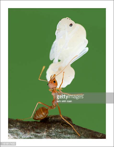 Ant carrying insect