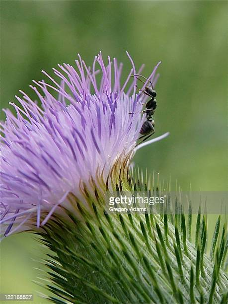 Ant climbing thistle flower