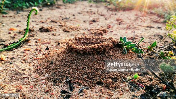 Ant Hill In Dirt