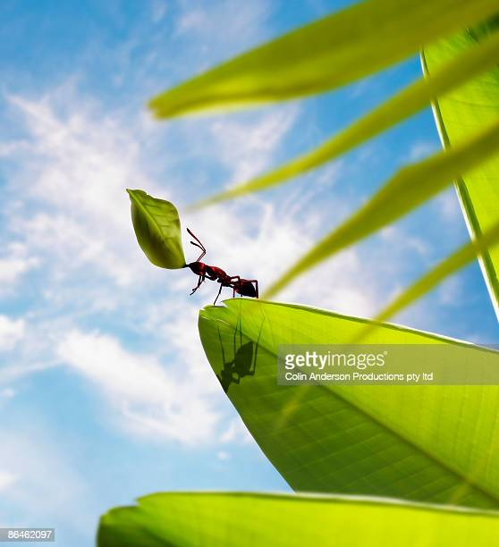 Ant lifting leaf