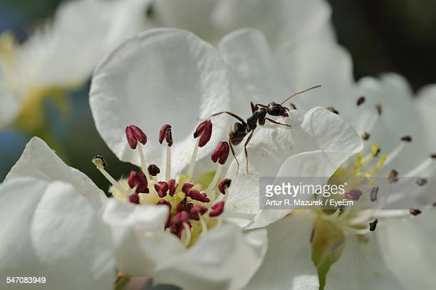 Ant On White Hawthorn Flower