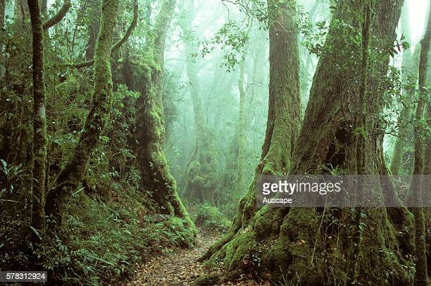 Antarctic beech trees Nothofagus moorei in mist along the Border Track a cool subtropical rainforest habitat Binna Burra Section Lamington National...