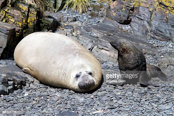Antarctic Fur Seal and Elefant Seal, South Georgia